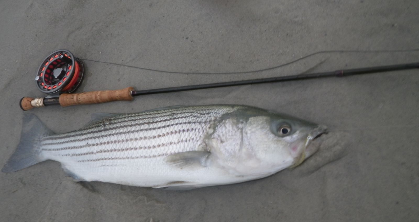 28 inch striped bass from cape cod