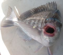 Bream Gob