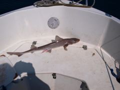starry smoothhound Cmp