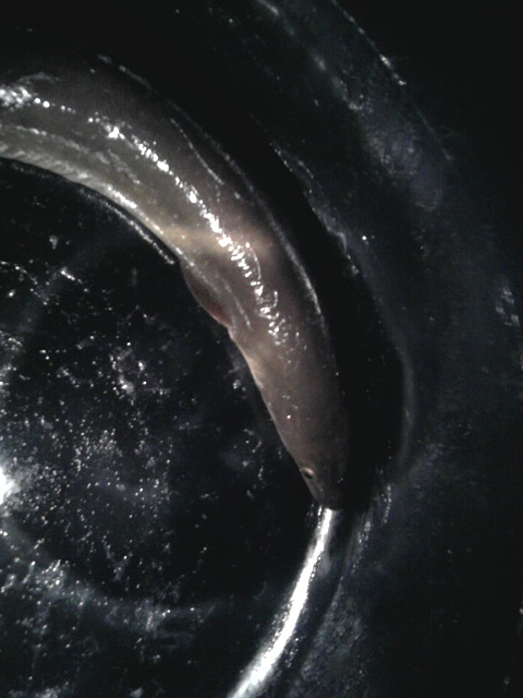 Mike's Silver Eel