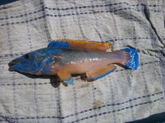 Mike's Cookoo Wrasse