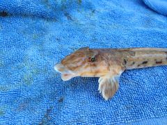 Female Dragonet