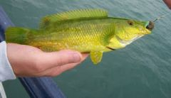 Ballan Wrasse (green colouring)